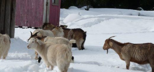 Seremi de Agricultura llama a estar atento y calmados a ganaderos vecinos al Volcán Copahue