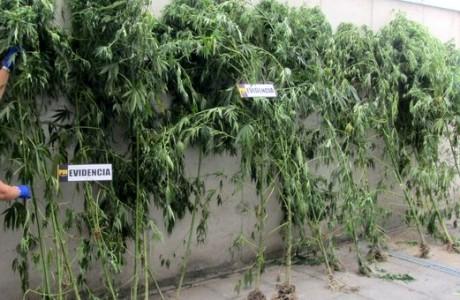 PDI Los Ángeles detectó cultivo de plantas de cannabis sativa de hasta tres metros de altura